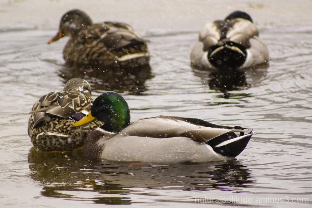 Mallard Ducks on the Dead River