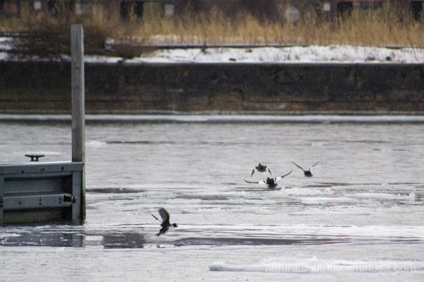 Goldeneye ducks take flight