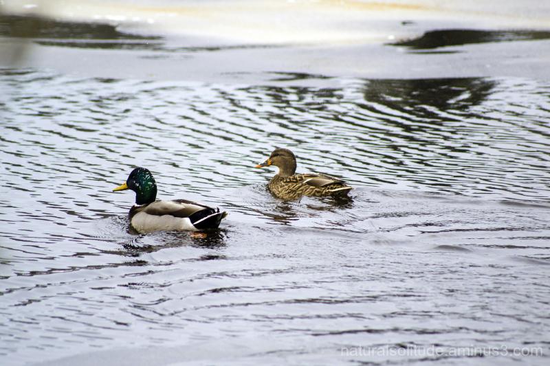 (More) Mallard Ducks on the Dead River