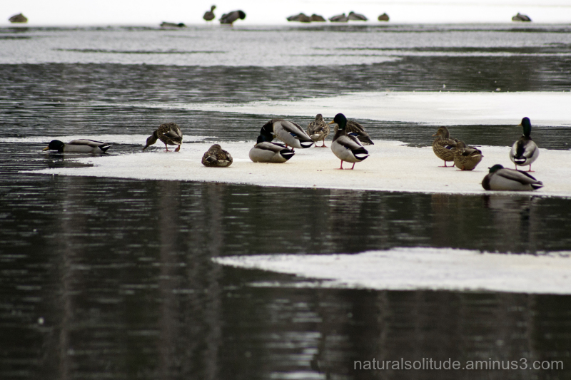 more mallards...more ice...