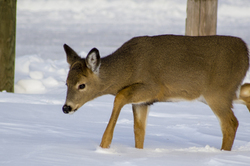 Young white tailed deer