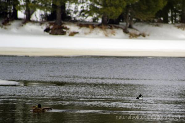 Mallards and Goldeneye Ducks