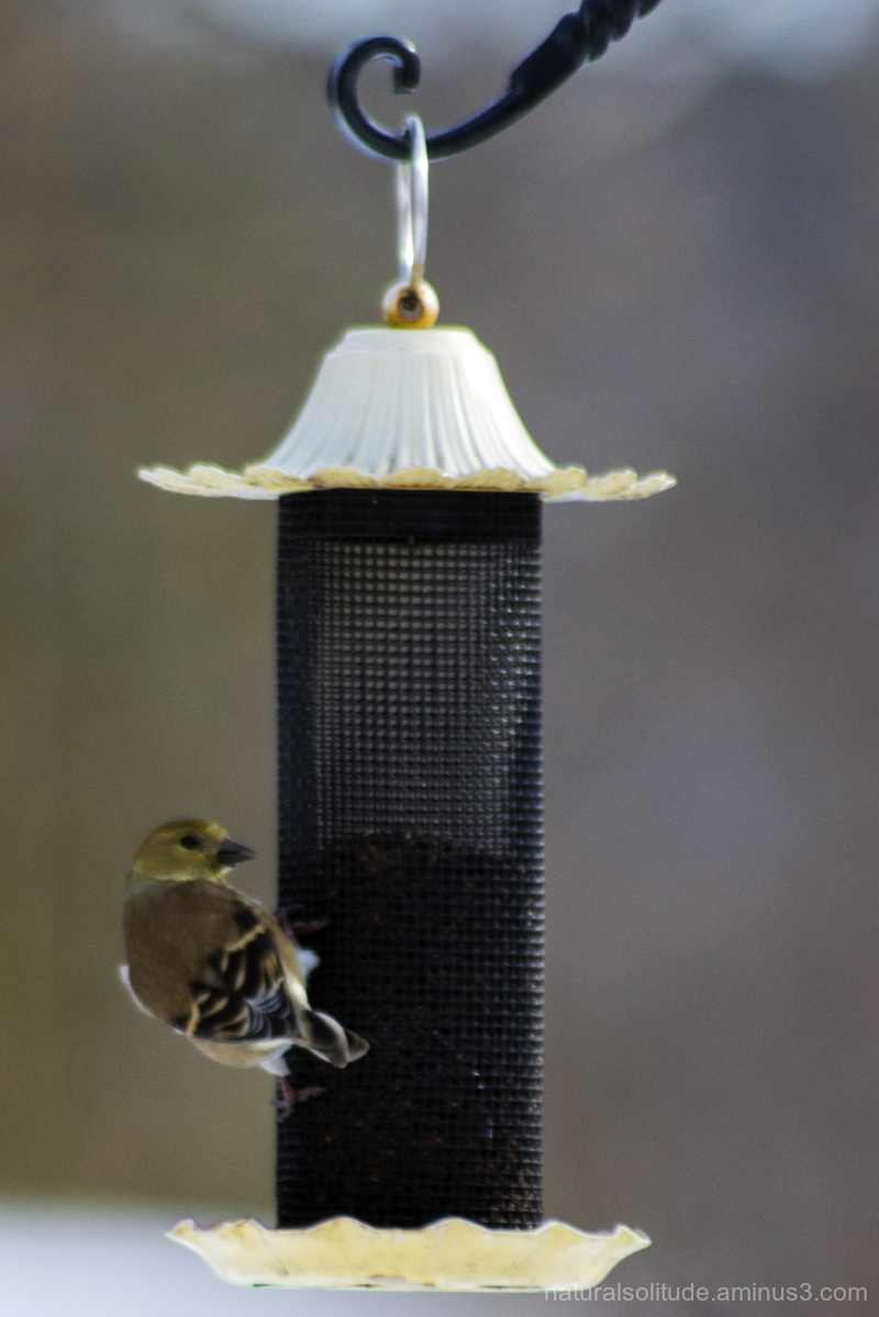 American Goldfinch at my thistle feeder