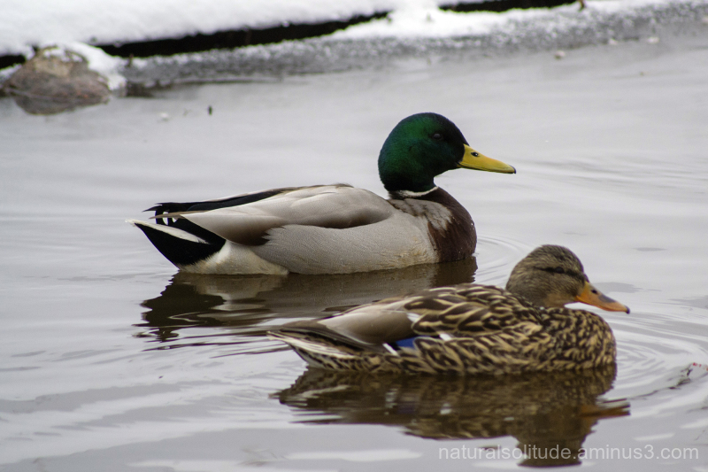 Mallard ducks in a drainage ditch