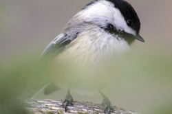 Black-capped chickadee in a pine tree