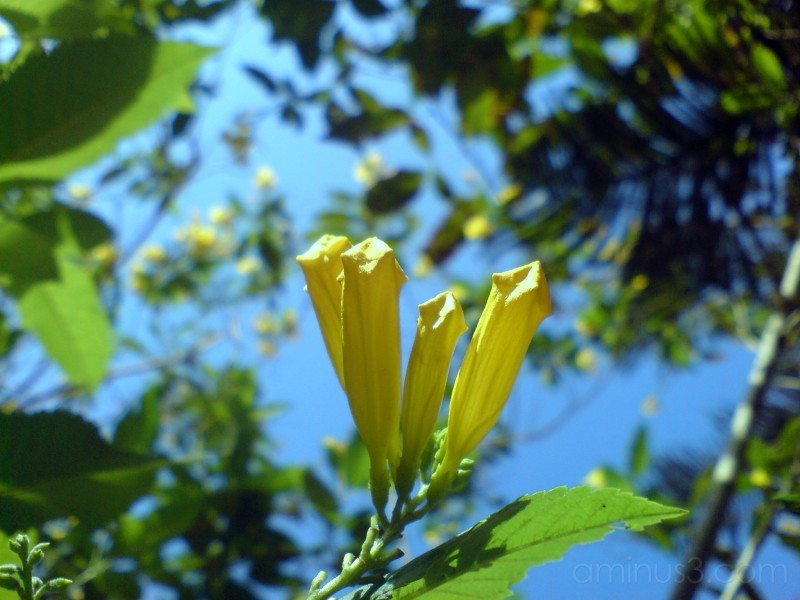 Yellow buds...