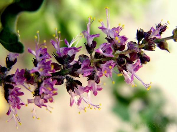 Tulsi flowers