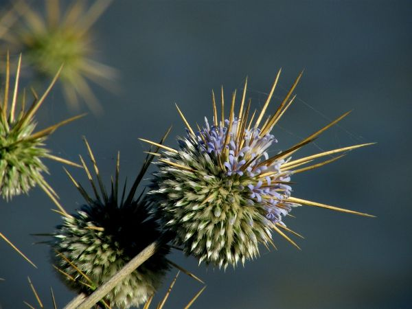 Indian Globe Thistle ( Echinops echinatus)