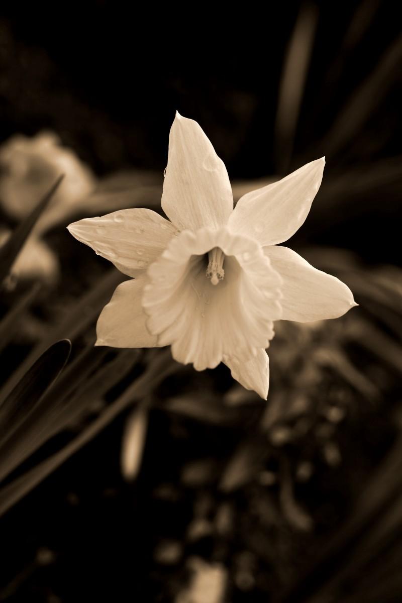 Sepia daffodil