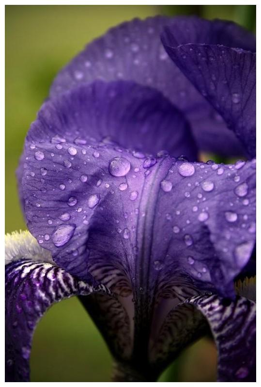 Purple Iris after a storm