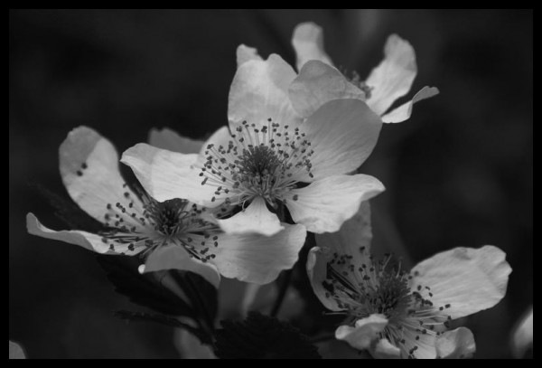 Black and white blackberry flowers