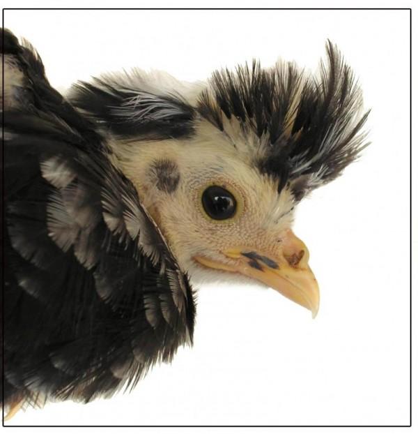 Punky Chicken