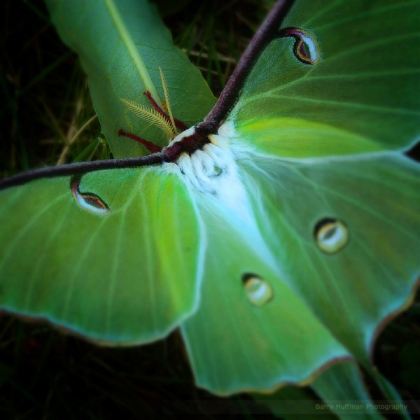 A Luna moth