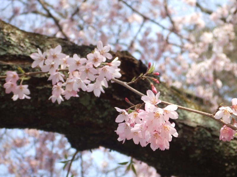 Cherry blossomsⅡ
