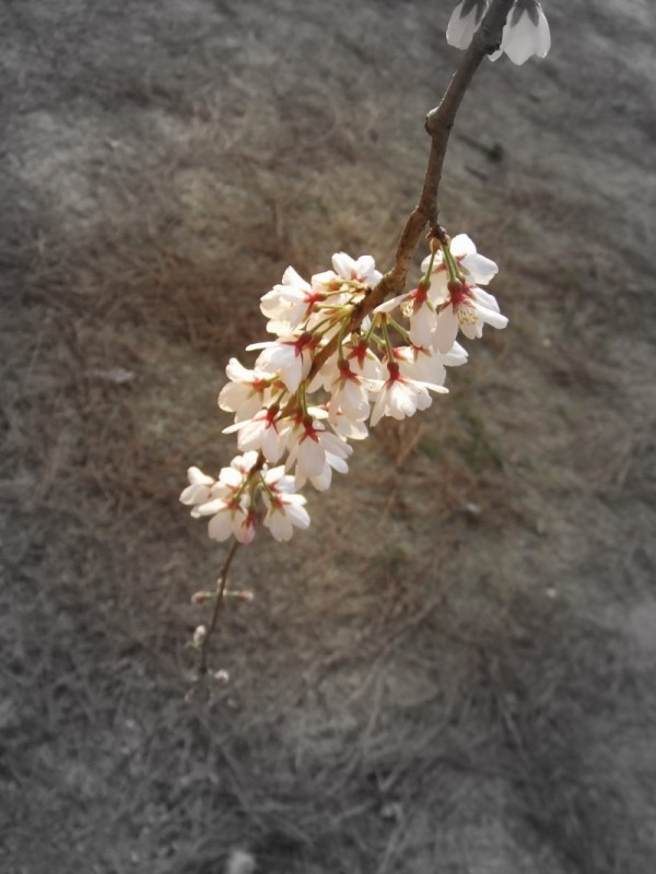 Cherry blossomsⅢ
