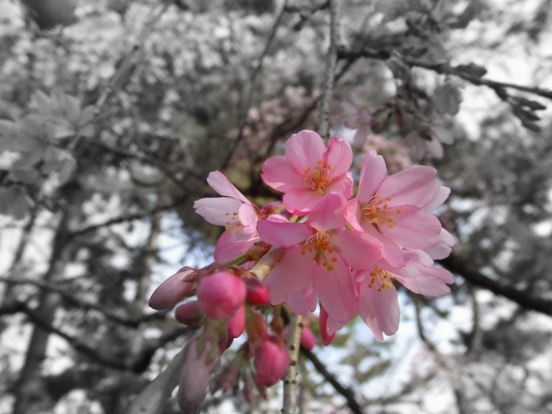Cherry blossoms Ⅸ