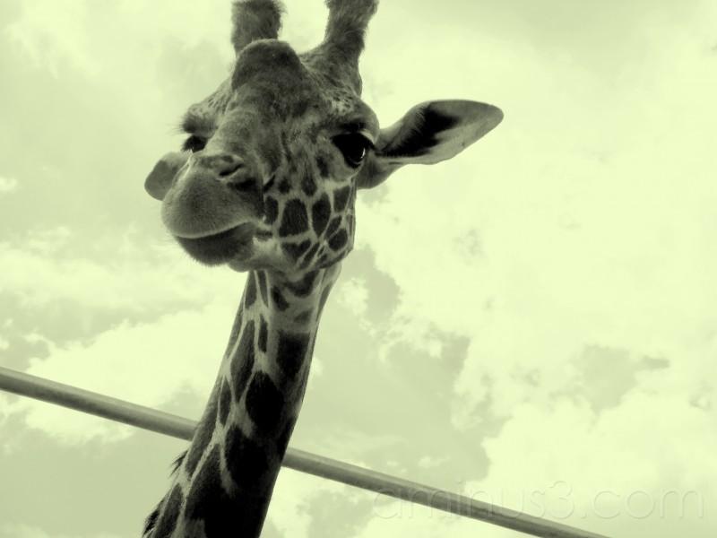 I am a giraffe