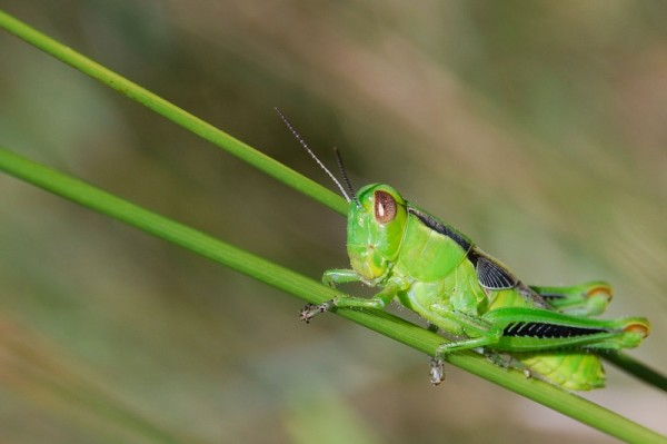 very green grasshopper