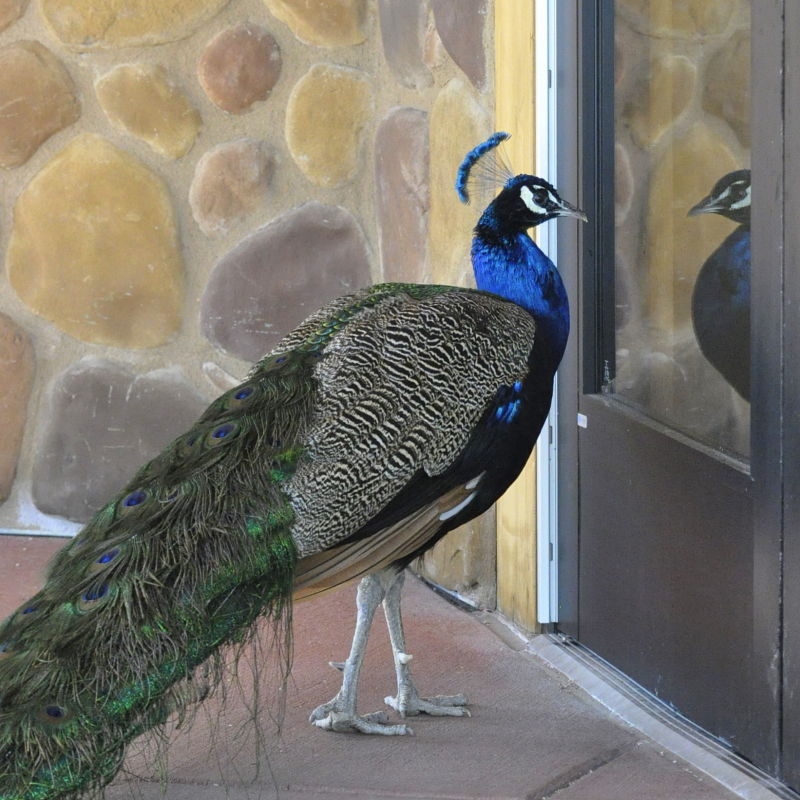 Peacock at zoo