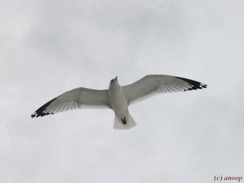 Looking Up: Seagull in Flight