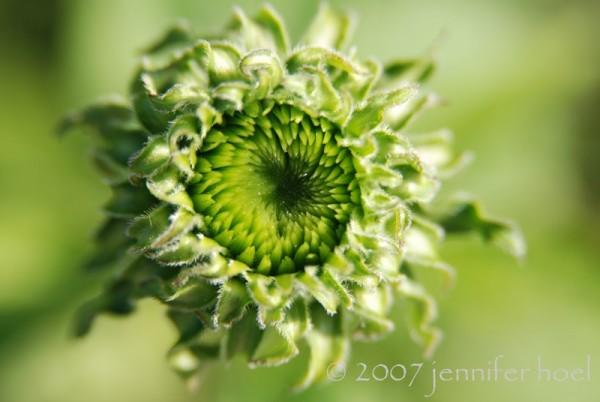 Bloomining Echinacea