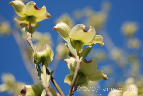 Photo of blooming dogwood branches and blue sky