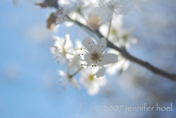 Photo of a tree blooming against a pale blue sky
