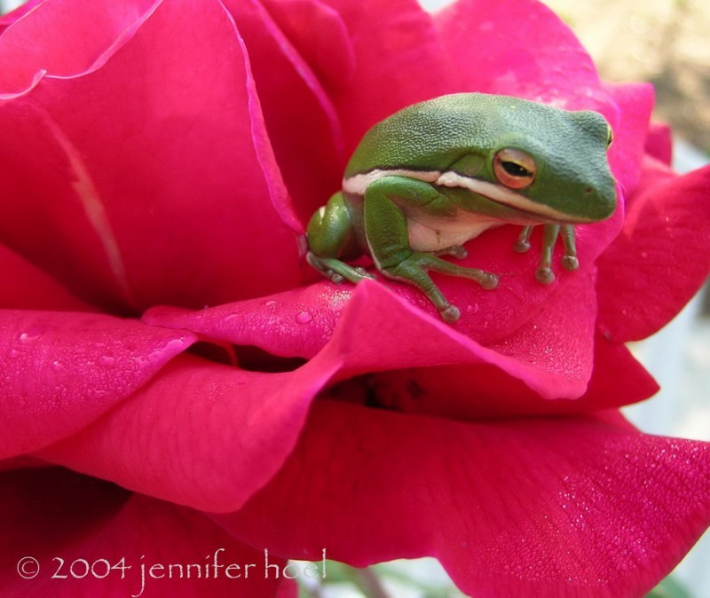 photo of a tree frog in a Mr. Lincoln rose
