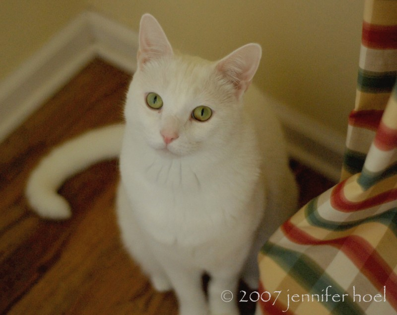 Photo of Thor, white cat with green eyes