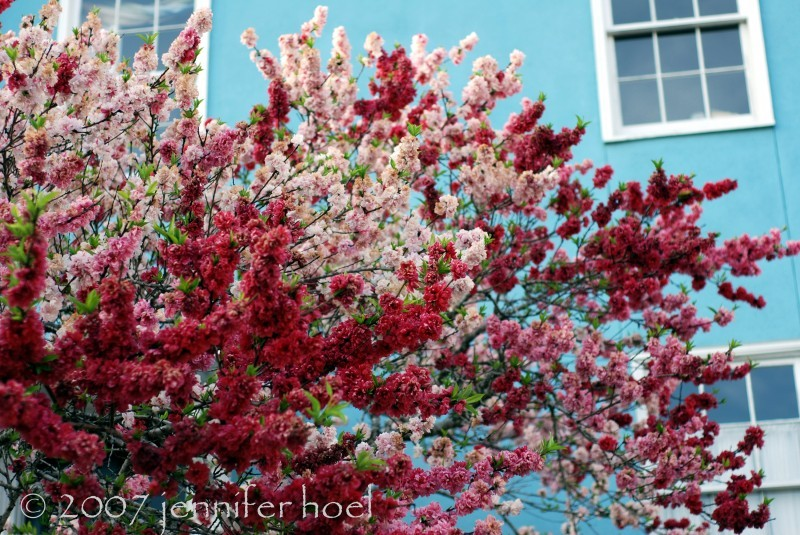 Spring blossoms against a blue house