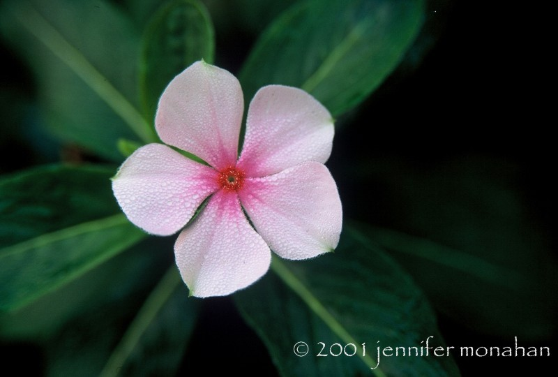 A macro of a vinca flower with early morning dew.