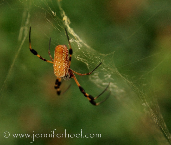 macro of a banana spider on web