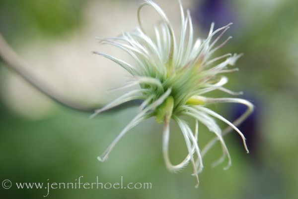 macro of clematis bolting to seed