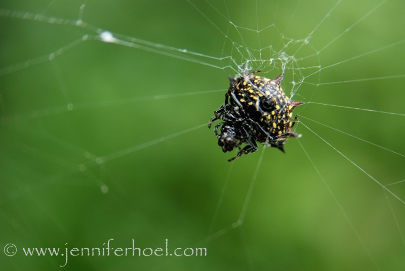 macro of a tiny black and yellow spider