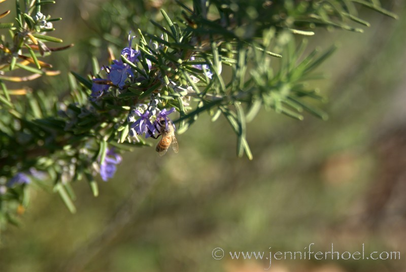bee in rosemary