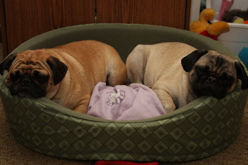 Pug Bed