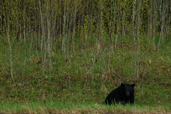 Roadside Black Bear