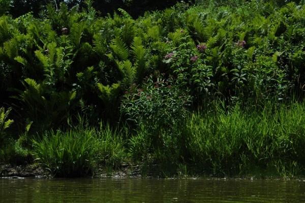 Saugeen Ferns