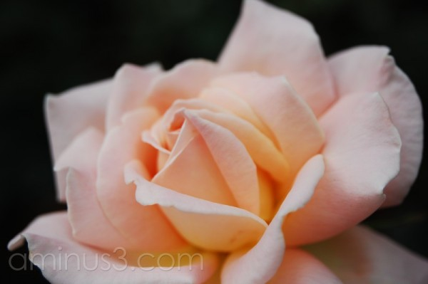 peach white