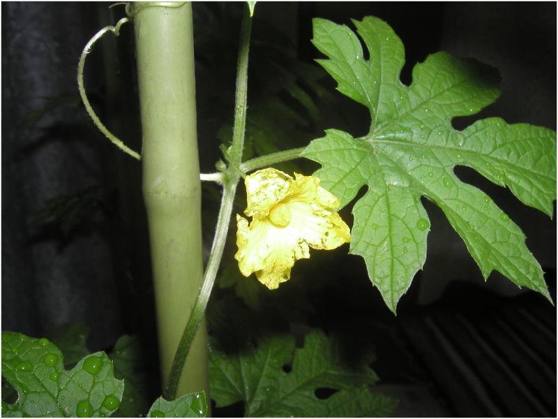 Flower of GOYA