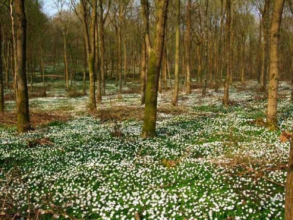 wood anemones
