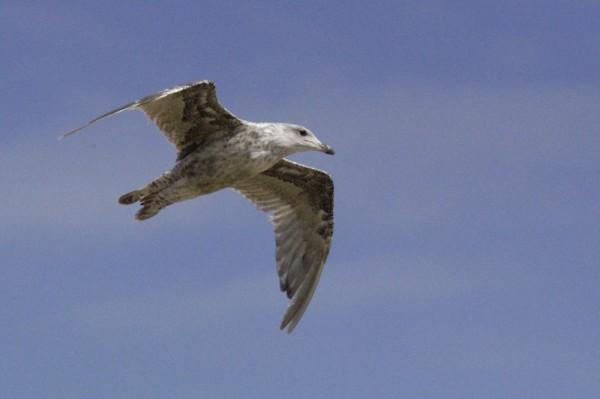juvenile gull flying