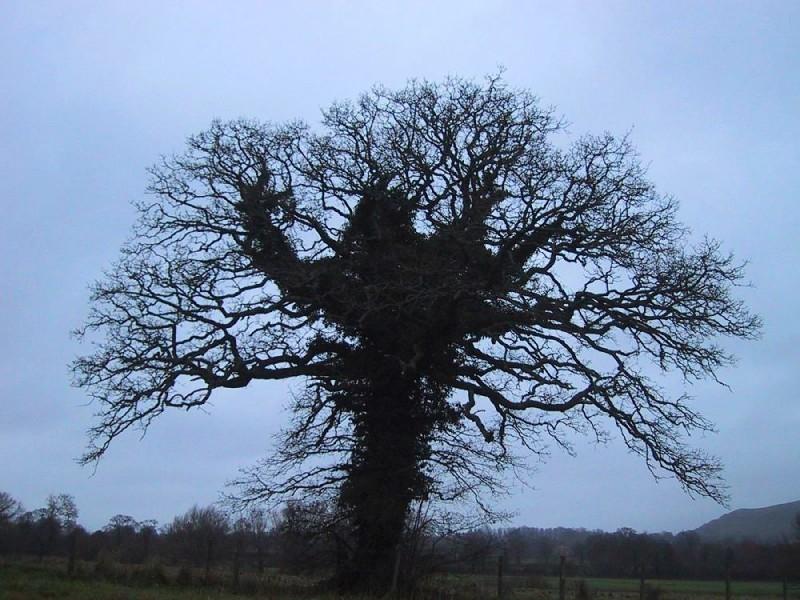 Ivy strangled tree
