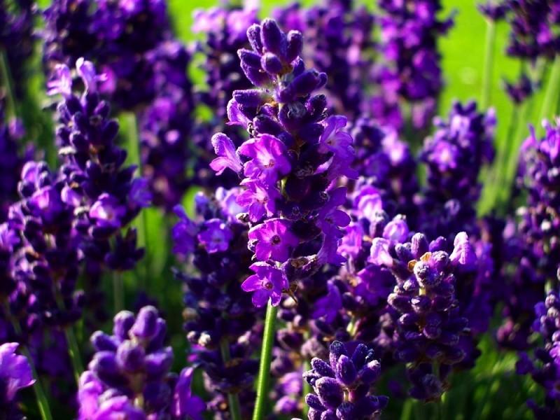 Lavender angustifolia