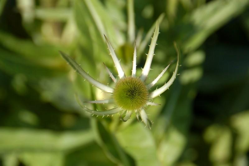 Common Teasel, Dipsacus fullonum