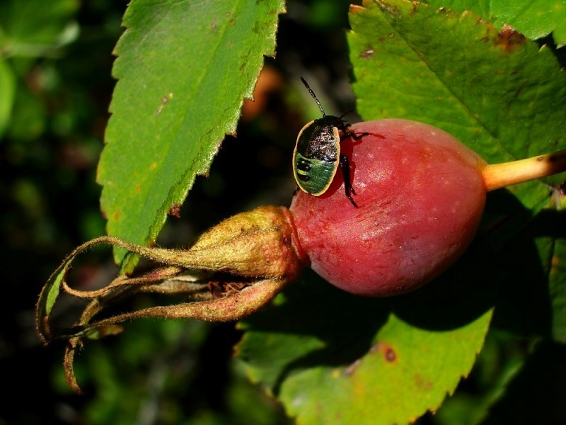 Alberta Rosehip And Guest