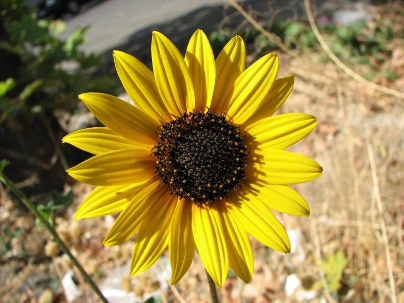 Sunshine SUnflower Flower