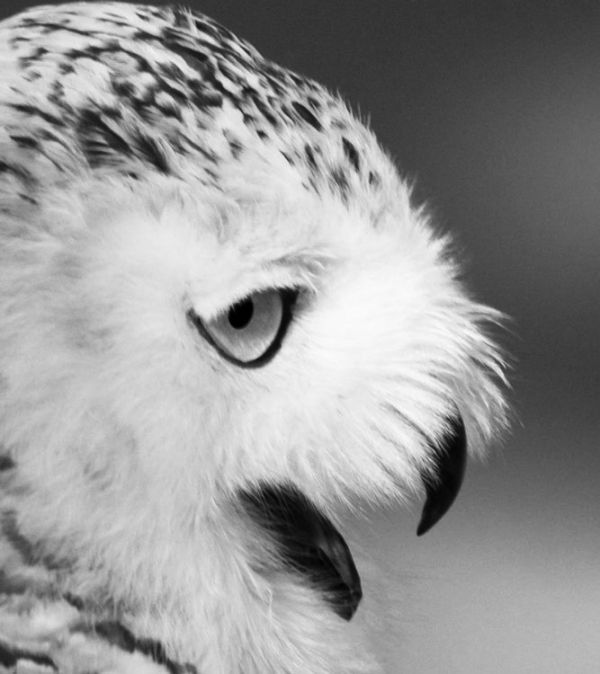 owl - buho - uggla