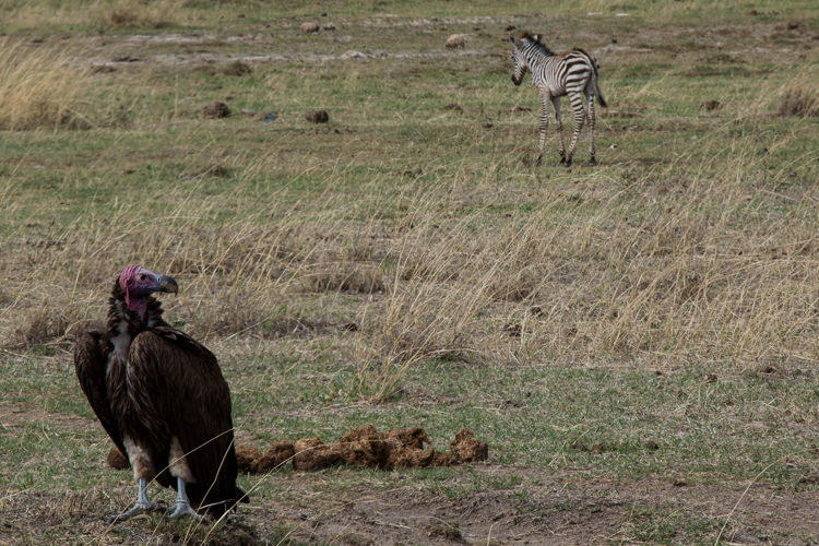young abandoned zebra is watched by a vulture