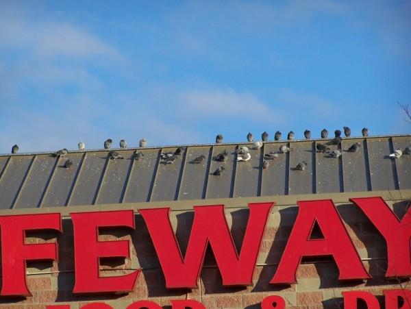 Safeway Birds
